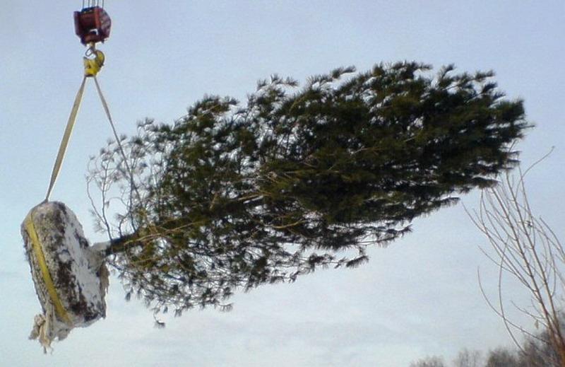 Посадка елочек осенью