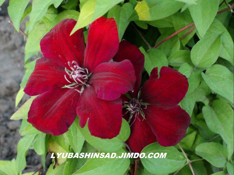 Clematis Resistenti Al Freddo clematide per il giardino, le varietà e le loro